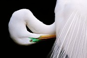 Paulette Thomas Photography Posters - Great White Egret Poster by Paulette  Thomas