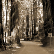 Redwoods Prints - 15 Mph Print by Mike McGlothlen