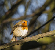 Dappled Light Photos - Robin Red Breast by Margaret S Sweeny