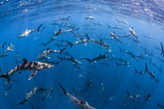 J Gregory Sherman - 151 Silky Sharks