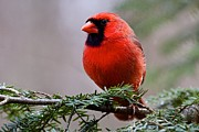 Northern Cardinal Male Print by Dan Ferrin