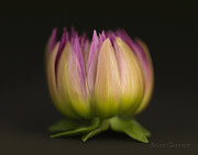 Color Purple Metal Prints - Untitled Metal Print by Anne Geddes