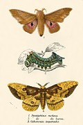 Moth Paintings - Butterflies by English School