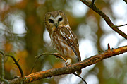 Paul OToole - Northern saw whet owl