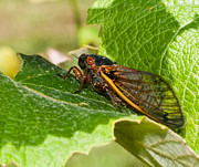 Grape Leaf Photo Prints - 17 Year Cicada 2 Print by Lara Ellis