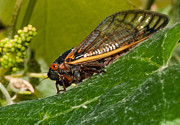 Grape Leaf Photo Prints - 17 Year Cicada 3 Print by Lara Ellis