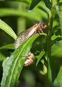 Cicada Photos - 17 Year Itch by Rebecca Sherman