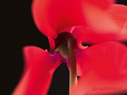 Color Red Posters - Untitled Poster by Anne Geddes