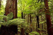 Redwoods Prints - Forest Print by Les Cunliffe