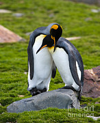 John Shaw - King Penguin