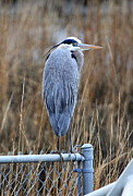 Ken Keener - Great Blue Heron
