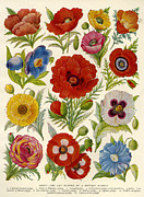 Magazine Plate Drawings - 1920s Uk Flowers Magazine Plate by The Advertising Archives