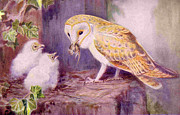 Magazine Plate Art - 1950s Uk Barn Owls Magazine Plate by The Advertising Archives
