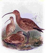 1950s Drawings Posters - 1950s Uk Curlews Book Plate Poster by The Advertising Archives