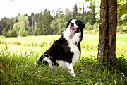 Loyality Framed Prints -  Border Collie in the nature Framed Print by Regina Koch