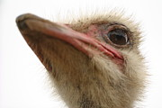 Ostrich Photos -  Ostrich Closeup by Terry Fleckney