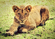 Male Art - A small lion cub portrait. Tanzania by Michal Bednarek