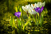 March Prints - Abstract crocus background Print by Jaroslaw Grudzinski