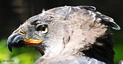 DiDi Higginbotham - African Crowned Eagle