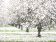 Almond Metal Prints - Almond Orchard Metal Print by Carol Leigh