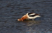 Twosome Prints - American Avocets Print by Elka Lange