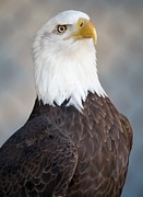 American Bald Eagle Print by Thomas Photography  Thomas