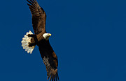 Bluesky Prints - American Bald Eagle Print by Scott Helfrich