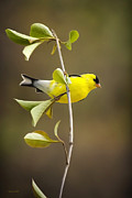 Perch Digital Art - American Goldfinch by Christina Rollo