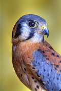 Robert Jensen Metal Prints - American Kestrel Falco Metal Print by Robert Jensen