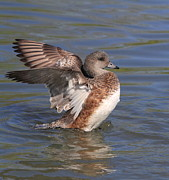 Stretching Wings Posters - American Widgeon Poster by Angie Vogel
