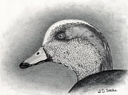 Waterfowl Drawings Framed Prints - American Wigeon Framed Print by Sarah Batalka