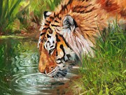 David Stribbling - Amur Tiger