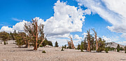 Oldest Living Tree Posters - Ancient Panorama - Bristlecone Pine Forest Poster by Jamie Pham
