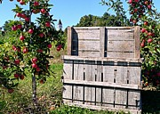 Apple Crates Framed Prints - Apple Picking Framed Print by Janice Drew