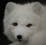 Hunger Framed Prints - Arctic White Fox Framed Print by Athena Mckinzie
