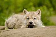 Arctic Wolf Photos - Arctic Wolf Pup by Michael Cummings