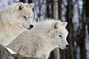 Canine Framed Prints - Arctic Wolves Framed Print by Michael Cummings