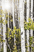 Timber Framed Prints - Aspen grove Framed Print by Elena Elisseeva