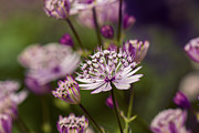 Gardening Photography Posters - Astrantia - VanDusen Botanical Garden Poster by May L