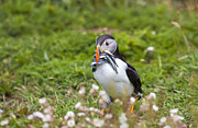 Atlantic Puffin Framed Prints - Atlantic puffin Framed Print by Sebastian Wasek
