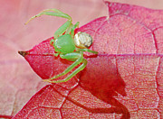 Grape Leaf Framed Prints - Australian Crab Spider Framed Print by Christopher Edmunds