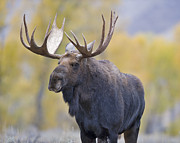 Gros Ventre Posters - Autumn Bull Moose III Poster by Gary Langley