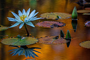 Doug Sturgess - Autumn Lily