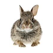 Pet Bunny Posters - Baby cottontail bunny rabbit Poster by Elena Elisseeva