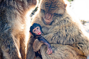 Gib Prints - Barbary Macaques Print by Jan Mika
