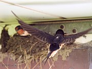 Barn Swallows Constructing Their Nest Print by J McCombie