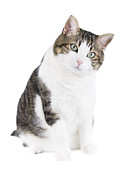 Cat Paw Posters - Beautiful cat over white isolated background Poster by David Herraez