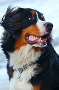 Bernese Photos - Beautiful dog portrait by Michal Bednarek