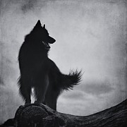 Shepherd Art - Belgian Sheepdog Groenendael  by Wolf Shadow  Photography