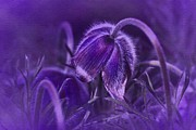 Pulsatilla Vulgaris Prints - Bent but not broken Print by Richard Cummings